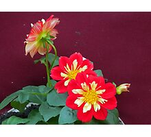 Dahlias in bloom Photographic Print