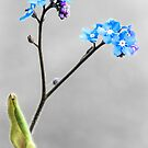 Forget-me-not by JEZ22
