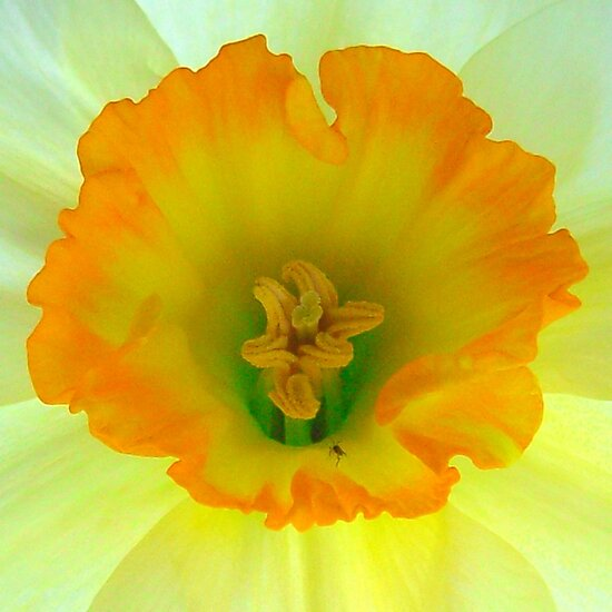 Daffodil close-up with visitor by ©The Creative  Minds