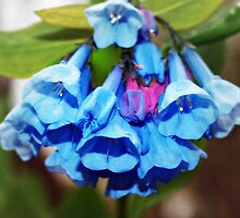 Virginia Bluebells by Bine