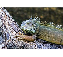 green iguana (iguana Iguana) with spines and dewlap  Photographic Print