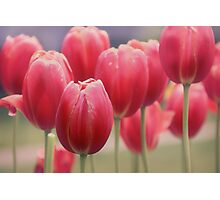 Tulips Entwined Photographic Print