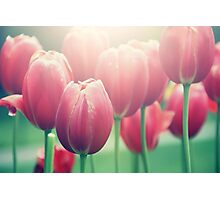 Tulips in The Sun  Photographic Print