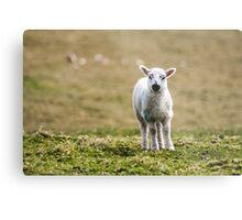 Donegal Lamb Metal Print