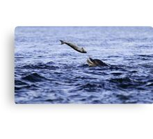 Bottle Nose dolphin eating a large salmon  Canvas Print