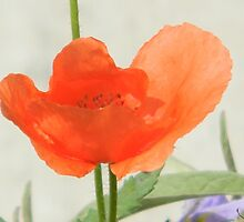 Painted Poppy by Navigator
