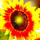 Sunflower by Bob Wall