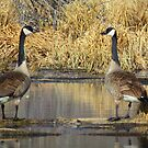 "Canadian Geese, ""I Think They 're Watching Us"" by MaeBelle"