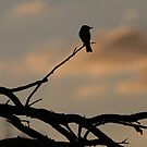Flycatcher at Twilight by RichImage
