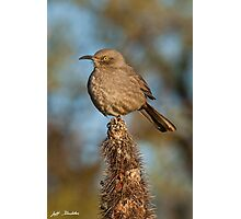 Curve-Billed Thrasher on a Cactus Photographic Print