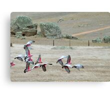 Galah's 'Take Off' over dry paddocks. Native Parrots, Mt. Pleasant. Canvas Print