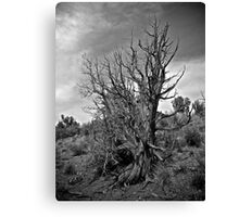 Juniper and Sky Black and White Canvas Print