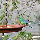 Red Rumped Native Parrots, share an evening drink. 'Arilka'. by Rita Blom