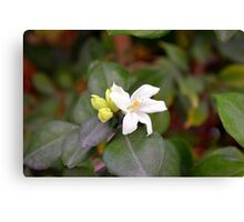 Small white flower and green leaves. Canvas Print