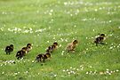 Ducklings and Daisies by Jo Nijenhuis