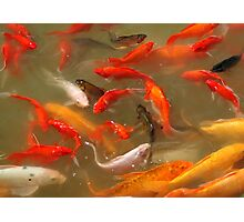 Koi Carp Feeding Frenzy Photographic Print