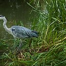 Grey Heron by eddiej
