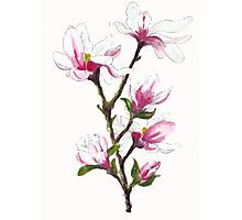 Magnolia blossoms Photographic Print