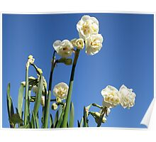 Narcissus Bridal Crown Poster
