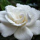 Essence of Gardenia by Lynn Gedeon
