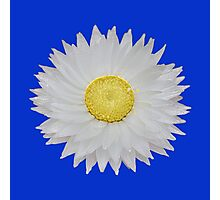 White Daisy with Yellow Center Photographic Print
