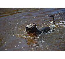 Pitbull swimming in the water Photographic Print