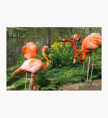 Flamingo Fight Photographic Print