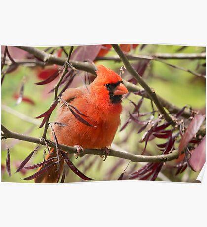 Angry Cardinal Poster