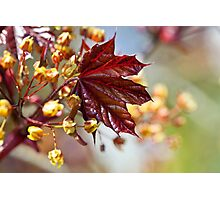 Young maple leaf Photographic Print