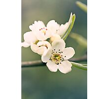 Pastel pear flowers Photographic Print