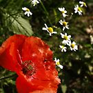 Path side Poppy by KMorral