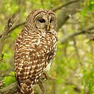 Beautiful Barred Owl  by lorilee
