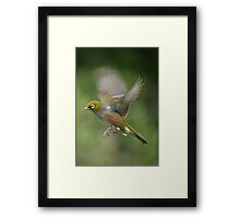 Silver Eye........on the wing.......! Framed Print