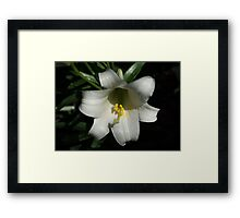 Emerging from the Darkness - Pure White Easter Lily Framed Print