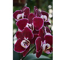 Burgundy Orchids - Taken in Norfolk, VA Photographic Print