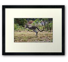 Kangaroo on Mt. Lofty, Adelaide  Framed Print