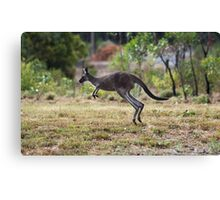 Kangaroo on Mt. Lofty, Adelaide  Canvas Print