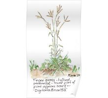 Finger grass - Botanical Poster