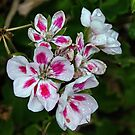 Pink spotted white Geranium flowers Leith Park Victoria 20160101 6546   by Fred Mitchell