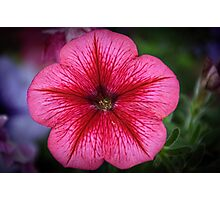 Pink and red Petunia flower Leith Park Victoria 20160101 6548   Photographic Print