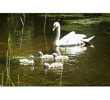 Mother swan and her little ones Photographic Print