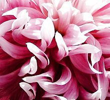 Pink Dancing Dahlia by Beth Thompson