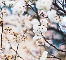 Pretty white blossoms by Camila Bruce Photography