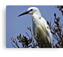 Little egret Canvas Print