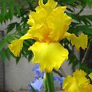 Yellow iris by Maria1606