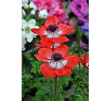 Two red poppy flowers Photographic Print