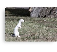 Long-tailed Weasel Canvas Print