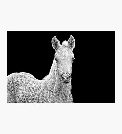 Fii - Palomino Morgan Filly Photographic Print