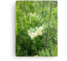 Yellow Sweet Pea Metal Print