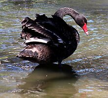 The Black Swan by myraj